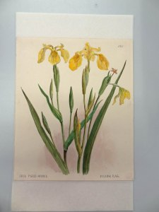 Yellow-iris-VA196
